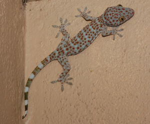 Tokay Gecko (Gekkonidae: Gekko gecko); Tropical East and Southeast Asia. Courtesy of L. Lee Grismer.