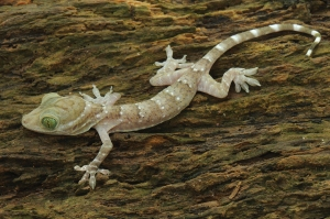 Green-eyed Gecko (Gekkonidae: Gekko smithii); Southeast Asia. Courtesy of L. Lee Grismer.