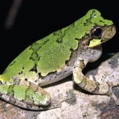 Bird-voiced Treefrog. Adult Hyla avivoca, green phase. Photo: Kenny Wray