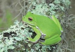 Barking Treefrog. Adult H. gratiosa, gree phase. Photo: Dirk Stevenson