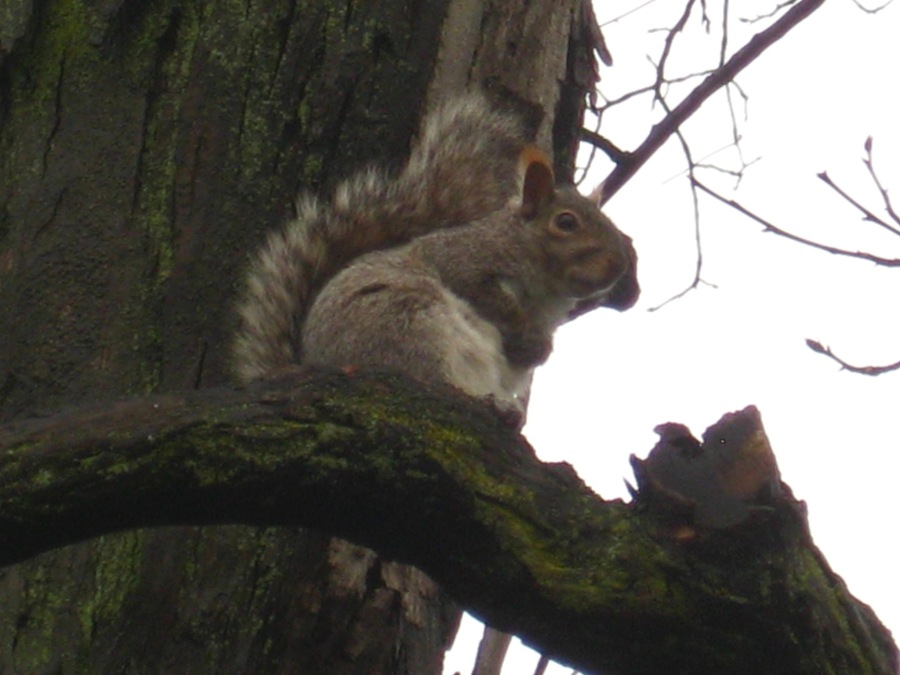 Gray squirrel. Photo courtesy of Dr. Peter Lurz.