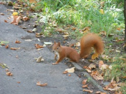 Red squirrel. Photo courtesy of Dr. Peter Lurz.
