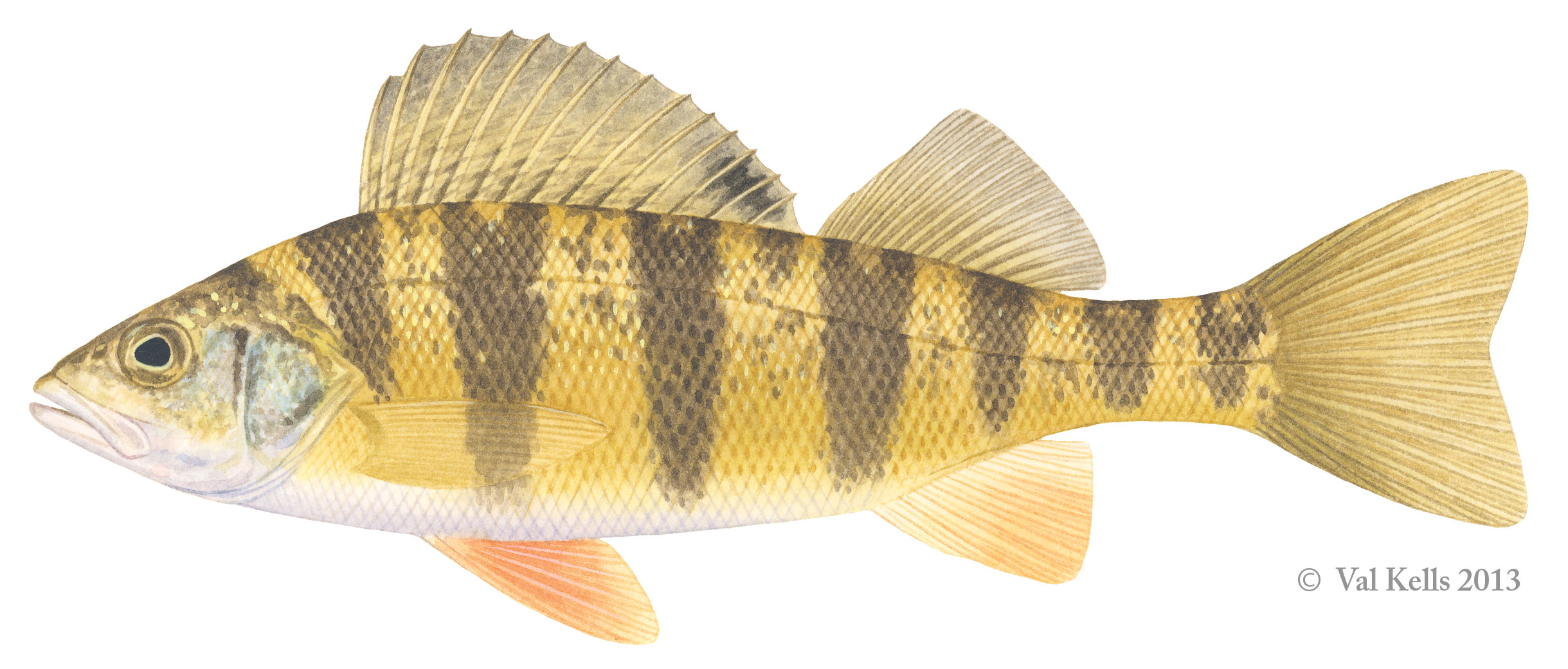 Wild thing q a with the authors of field guide to fishes for Perch fish facts