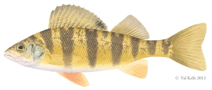 Yellow-perch-VKells