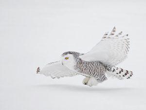 A_Snowy_Owl_in_Flight_David_Hemmings