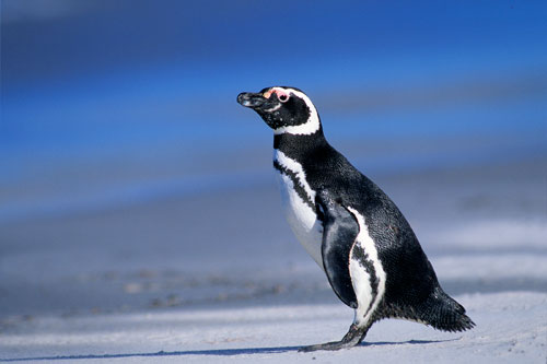 Adult Magellanic penguin showing the distinct lateral stripe. Photo: Wayne Lynch