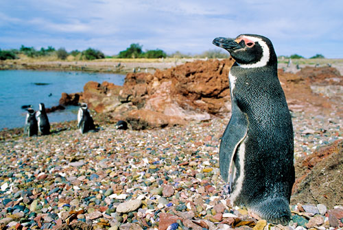 Magellanic penguin at the edge of the very large colony at Punta Tombo, Argentina.  Photo by Wayne Lynch.