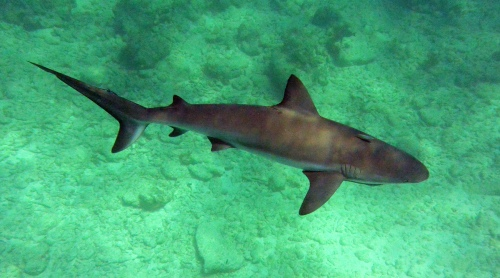 Helfman_Carib Reef Shark