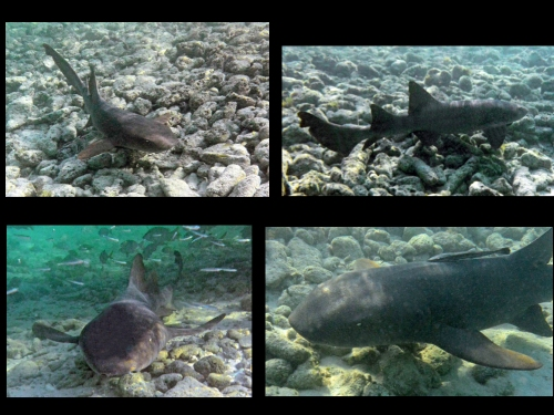 Helfman_Nurse Sharks