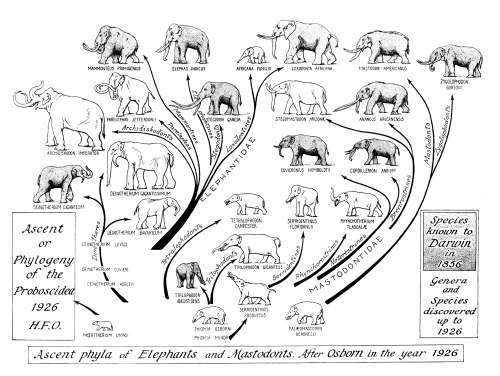 """A phylogeny of elephants constructed by Henry Fairfield Osborn in 1926, this one a """"pictogram,"""" showing relationships, but also an indication of relative size, and the remarkable convergence of general body shape among modern forms descended from markedly different ancestors."""