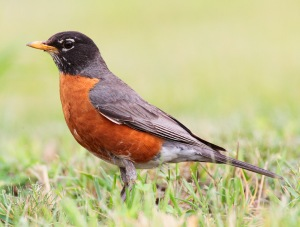 Mackay April robin