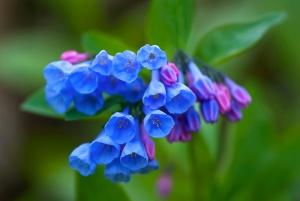 MacKay April virginia-bluebells