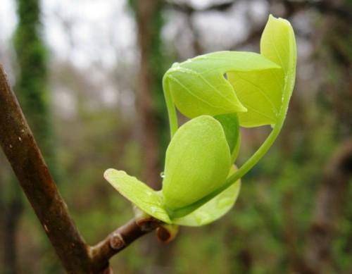 Tulp poplar, Liriodendron tulipifera. Photo by R. Noonan