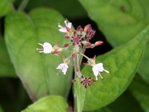 Mackay-enchanters-nightshade