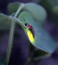 Mackay firefly