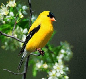 MacKay goldfinch
