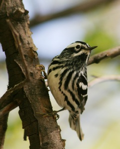 Male black-and-white warbler.
