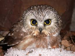 MacKay Sawwhet owl